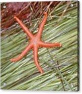 Orange Sea Star Acrylic Print