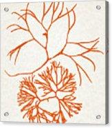 Orange Seaweed Marine Art Furcellaria Fastigiata Acrylic Print