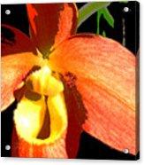 Orange Slipper Orchid Acrylic Print