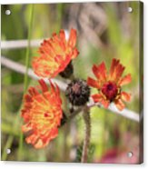 Orange Small Flowers With Buds Acrylic Print