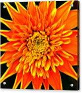 Orange Star Flower Acrylic Print