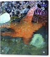 Orange Starfish Acrylic Print