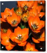 Orange Starflower Acrylic Print