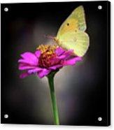 Orange Sulphur Butterfly Portrait Acrylic Print