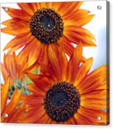 Orange Sunflower 2 Acrylic Print