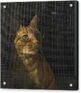 Orange Tabby Cat Looking Acrylic Print