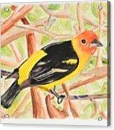 Orange Tanager Acrylic Print