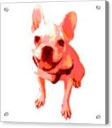 Orange Terrier Acrylic Print