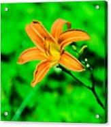 Orange Tiger Lily Acrylic Print