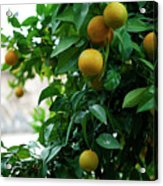 Orange Tree Acrylic Print by Lorraine Devon Wilke