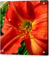 Orange Trumpeting Lily Acrylic Print