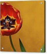 Orange Tulip 2 Acrylic Print