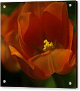 Orange Tulip Art Acrylic Print
