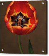 Orange Tulip  Acrylic Print