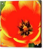 Orange Tulip Flowers In Spring Garden Acrylic Print