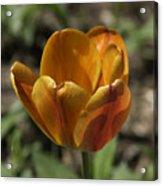 Orange Tulip Squared Acrylic Print