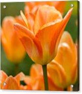 Orange Tulips 2 Acrylic Print