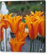 Orange Tulips In A Colonial Garden Acrylic Print