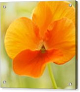 Orange Viola On A Brilliant Spring Day Acrylic Print
