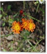 Orange Wild Flowers Acrylic Print