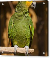 Orange-winged Amazon Parrot Acrylic Print by Adam Romanowicz