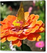 Orange Zennia Acrylic Print