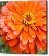 Orange Zinnia After A Rain Acrylic Print