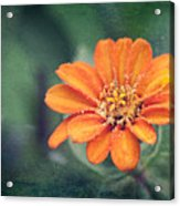Orange Zinnia Acrylic Print