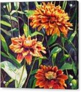 Orange Zinnias Acrylic Print