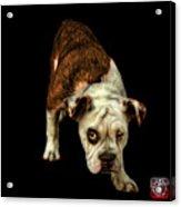 Orangeenglish Bulldog Dog Art - 1368 - Bb Acrylic Print