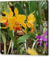 Orangepurple Orchids Acrylic Print