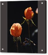 Orange Roses In Sun With Water Droplets Acrylic Print