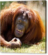 Orangutan In The Grass Acrylic Print by Garry Gay