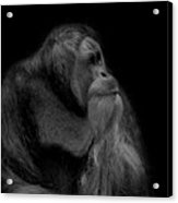 Orangutan Male Looking Up Acrylic Print