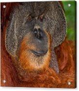 Orangutan Male Acrylic Print