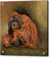Orangutan Monkey Acrylic Print