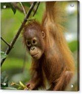 Orangutan Pongo Pygmaeus Baby Swinging Acrylic Print
