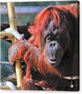 Orangutan Smile Acrylic Print