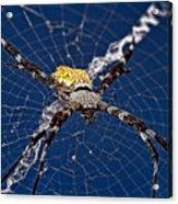 Orb-weaver Spider Acrylic Print