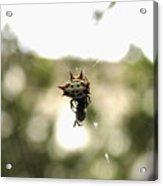 Orb Weaver Spider2 Acrylic Print