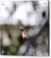 Orb Weaver Spider3 Acrylic Print