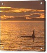 Orca Killer Whale Acrylic Print