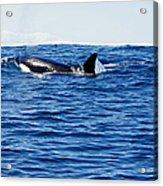 Orca Acrylic Print by Marilyn Wilson
