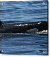 Orca Nw 2011 Acrylic Print