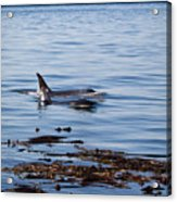 Orca Whales In The San Juan Islands Acrylic Print