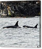 Orcas In The Salish Sea Acrylic Print