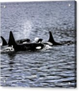 Orcas, The Killer Whales Acrylic Print
