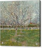Orchard In Blossom Plum Trees Acrylic Print