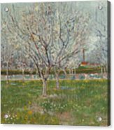 Orchard In Blossom, Plum Trees Acrylic Print