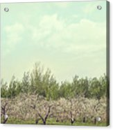 Orchard Of Apple Blossoming Tees Acrylic Print